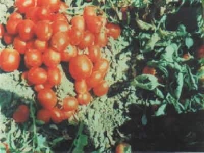 Tomatoes Treated with Sun Shield